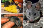 Kā rīkoties ar pelēm valstī un vietā