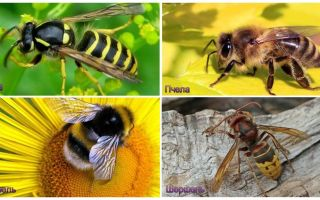 Kas atšķiras no lapseņiem, bišu, kamene, hornetiem