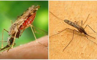 Kā izskatās malārijas odi un cik bīstami tie ir cilvēkiem