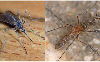 Moskītu sugu apraksts un fotogrāfijas