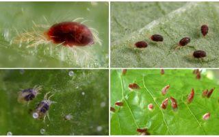 Apraksts un foto zirnekļa ērce