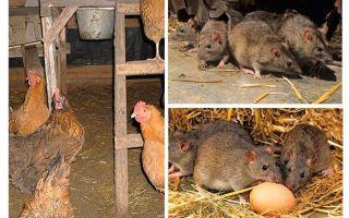 Kā rīkoties ar žurkām vistu mājā