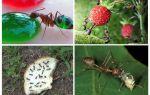 Kādi skudras ēd dabā