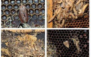 Metodes, kā tikt galā ar vaska moth