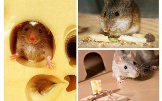 Peles ēd sieru vai nē