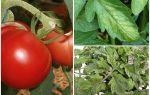 Laputītes uz tomātiem - ko apstrādāt un kā cīnīties