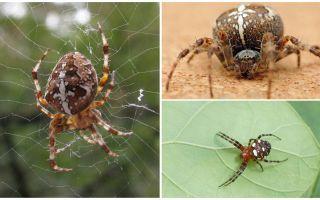 Krustneša zirnekļa apraksts un fotogrāfija