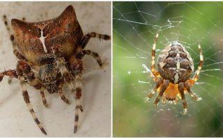 Zirnekļa jogs: foto un efekti pēc koduma