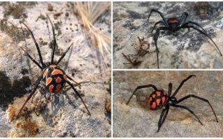 Kazahstānas zirnekļu apraksts un fotogrāfijas