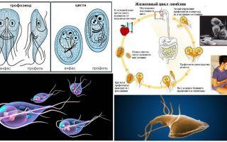 Giardia dzīves cikls un cistu ārstēšana
