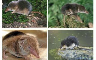 Mouse Shrew