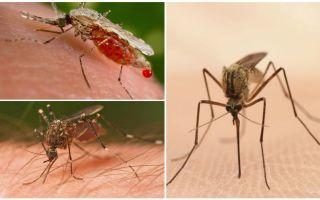 Cik odu jums ir nepieciešams, lai dzert visu cilvēka asinis?