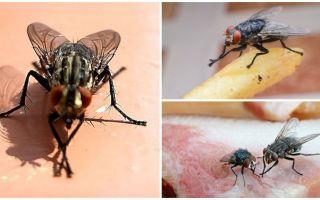 Kāpēc mušas berzē ķepas