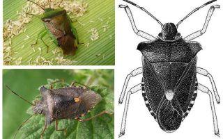 Meža bugs