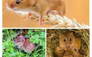 Kur peles dzīvo