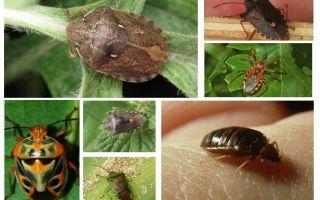 Bedbugs veidi un šķirnes