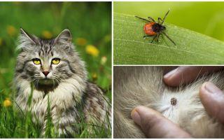 Ko darīt un kā ārstēt ķeksīti kaķī vai kaķī