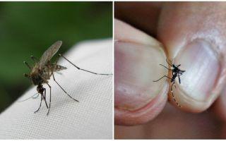 Kā audzēt un cik daudz odu dzīvot