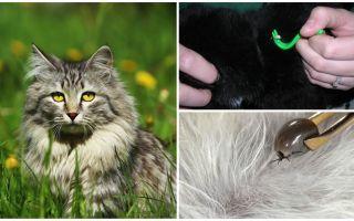Kā noņemt kaķi no kaķa vai kaķa