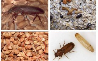Blackflies graudaugos, miltos, makaronos un to atbrīvošanā