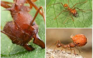 Ants atta