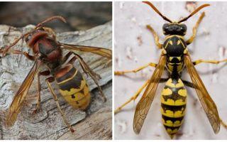 Hornetu apraksts un fotoattēls