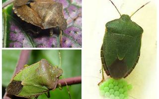 Woody zaļā bug