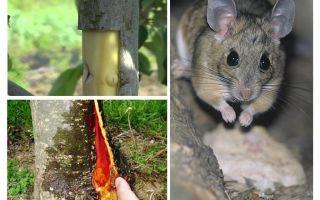 Kā izglābt ābolu, ja miza novieto peles