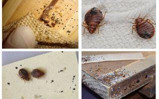 Kā izskatās mēbeļu bug un kā no tā atbrīvoties
