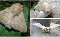 Kāpurķēžu un zīdtārpiņu tauriņu apraksts un fotogrāfija