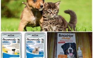 Kā un kā pasargāt suni no odiem un melnajiem