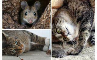 Vai kaķi un kaķi ēd peles?