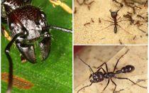 Ants bullet