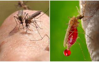 Cik reizes var būt moskītu kodums