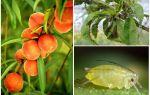Kā rīkoties ar laputīm persiku tautas un iepirkšanās līdzekļos