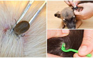 Kā noņemt ķeksīti no suņa mājās
