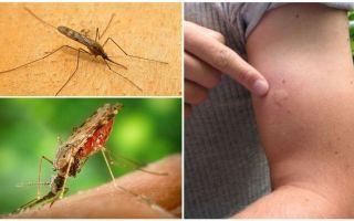 Ko darīt, ja jūs esat sakosts ar anopheles moskītu