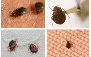 Vai bugs dzīvo spilvenos un segās