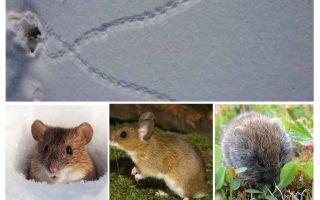 Peles pēdas sniegā