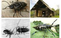 Beetle kokgriezējs foto un apraksts