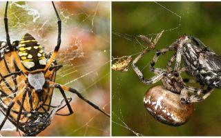 Weaver zirnekļi