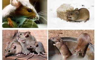Interesanti fakti par pelēm