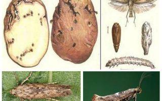 Kartupeļu putnu uzglabāšanas kontroles pasākumi