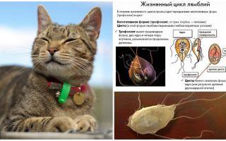 Simptomi un lamblia ārstēšana kaķiem