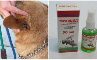 Kā un ko ārstēt suņa ausīm no mušas