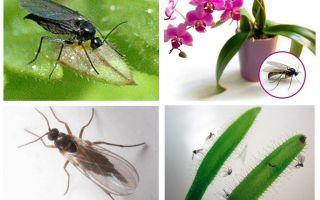Kā atbrīvoties no sēņu odiem (sciarid)