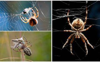 Tā kā zirneklis auda tīmekli