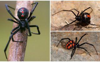 Zirnekļu fotogrāfijas ar nosaukumiem un aprakstiem