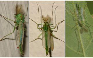Zaļā zvana odi (Dergun odi)