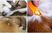 Atzīmējiet ķekaru sunī - simptomi, ietekme un ārstēšana mājās